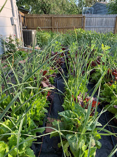 Rows of chest high garlic with green and purple lettuce and orach growing in tandem