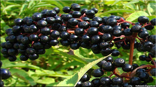 Elderberry fruit images wallpaper