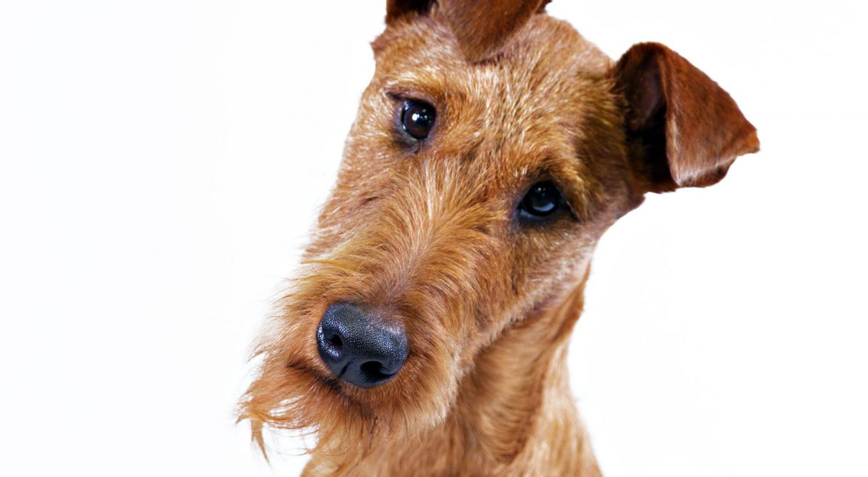 Irish Terrier: breed description, character, training, owner reviews 81