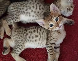 F8 savannah cat Personality, Size, Adoption, Cost