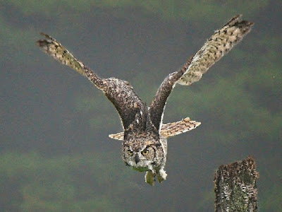 Researchers are imitating the ability of owls to fly silently for use in various applications. Once again, humans are drawing inspiration from the work of the Master Engineer.