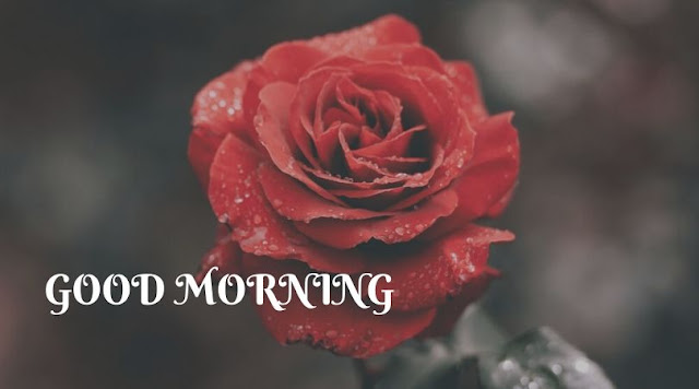 good morning rose images with love