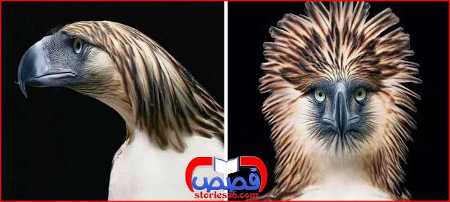 غرائب الحيوانات والطيور | النسر الفليبيني