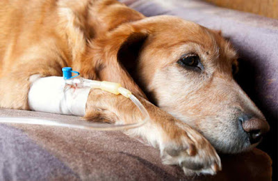 Older dog on a couch having drip IV therapy