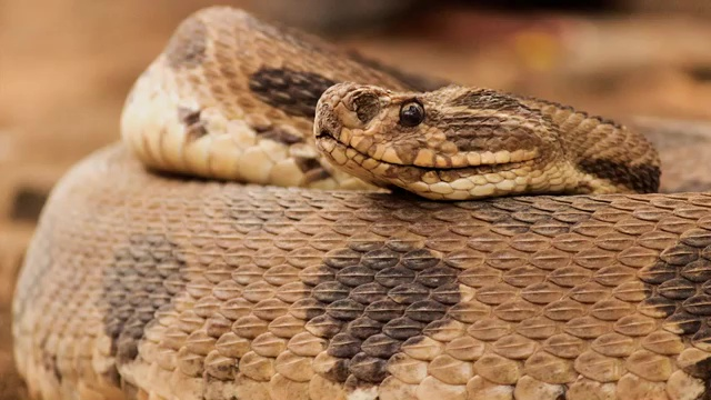 Top 10 Deadliest Snakes in the World, Russel`s Viper