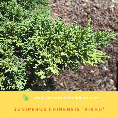 Juniperus Chinensis 'Kishu'