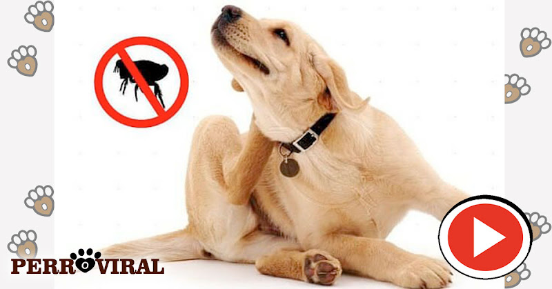 Cómo acabar con las Pulgas en los Perros