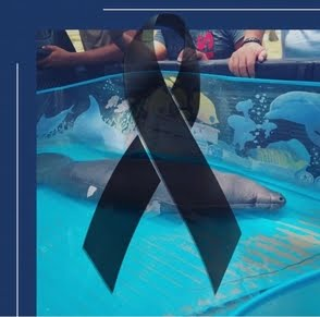 Fallece Mireya, el manatí que fue rescatado de las orillas de una playa en Samaná