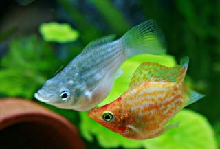 Jenis Ikan Molly Paling Populer Lengkap Beserta Gambarnya