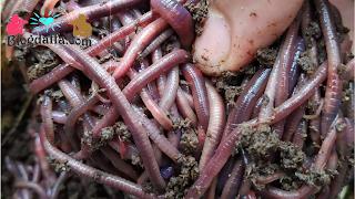 Cara budidaya cacing tanah paling mudah