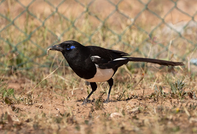 Maghreb Magpie - Oued Souss, Morocco