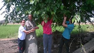 berries, أكل التوت فى بركة السبع'التوت, الحسينى محمد, الخوجة, المنوفية, بركة السبع, فوائد اكل التوت