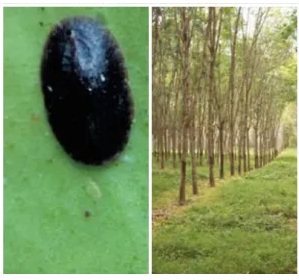 How to management Lice Pests in Rubber Plants