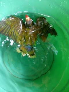 Cara Melatih Pernafasan Lovebird Dengan Terapi Renang
