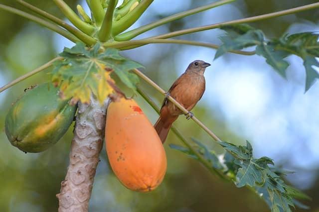 Papita Khane Ke Fayde-Papaya Benefits In Hindi-पपीता खाने के फायदे ,नुकसान और सही समय