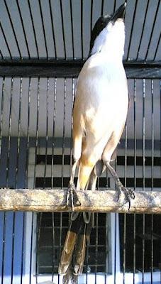 alasannya yakni burung cendet dan hampir semua jenis burung kicauan lainnya pada ketika mabung tentu  Cara Perawatan Cendet Setelah Mabung Agar Lebih Gacor