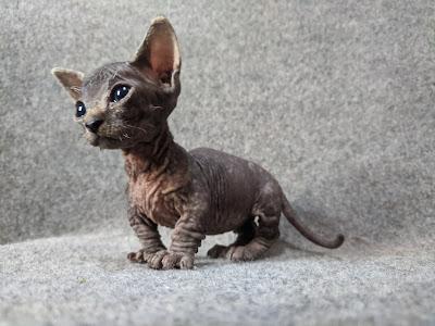 Kucing Bambino