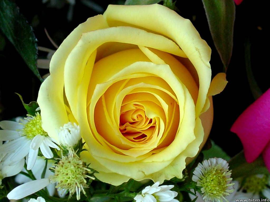 Yellow Rose Flowers - Flower HD Wallpapers, Images, PIctures, Tattoos and Desktop Background