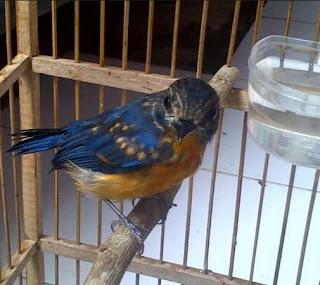 6 Ciri Burung Tledekan Trotol Jantan Di Lihat Dari Segi Fisik