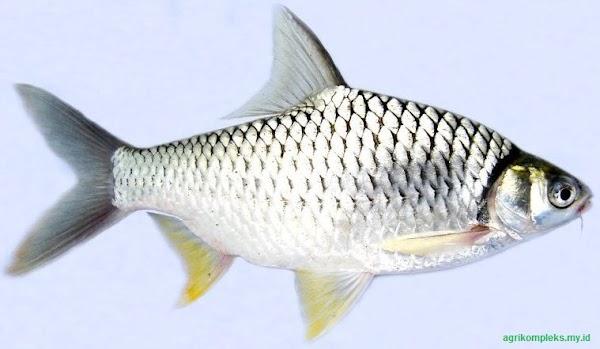 Cara Budidaya Ikan Tawes  Peluang Usaha yang Menjanjikan