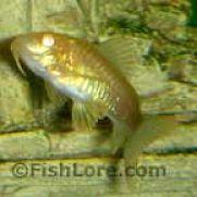 Lele Hias, Jenis Ikan Hias Air Tawar