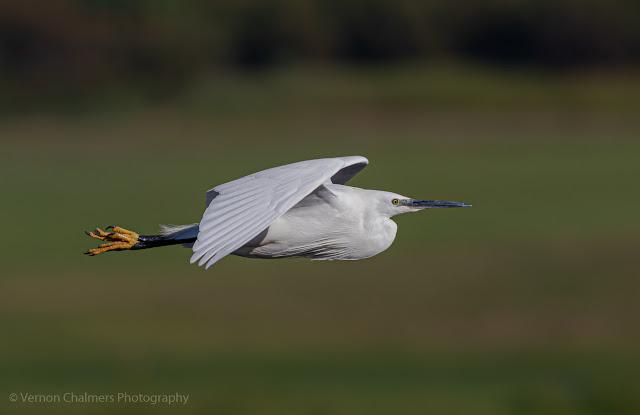 Little Egret in Flight Woodbridge Island, Cape Town