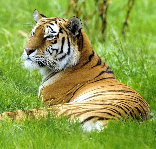खूंखार  खतरनाक बाघ का फोटो डाउनलोड