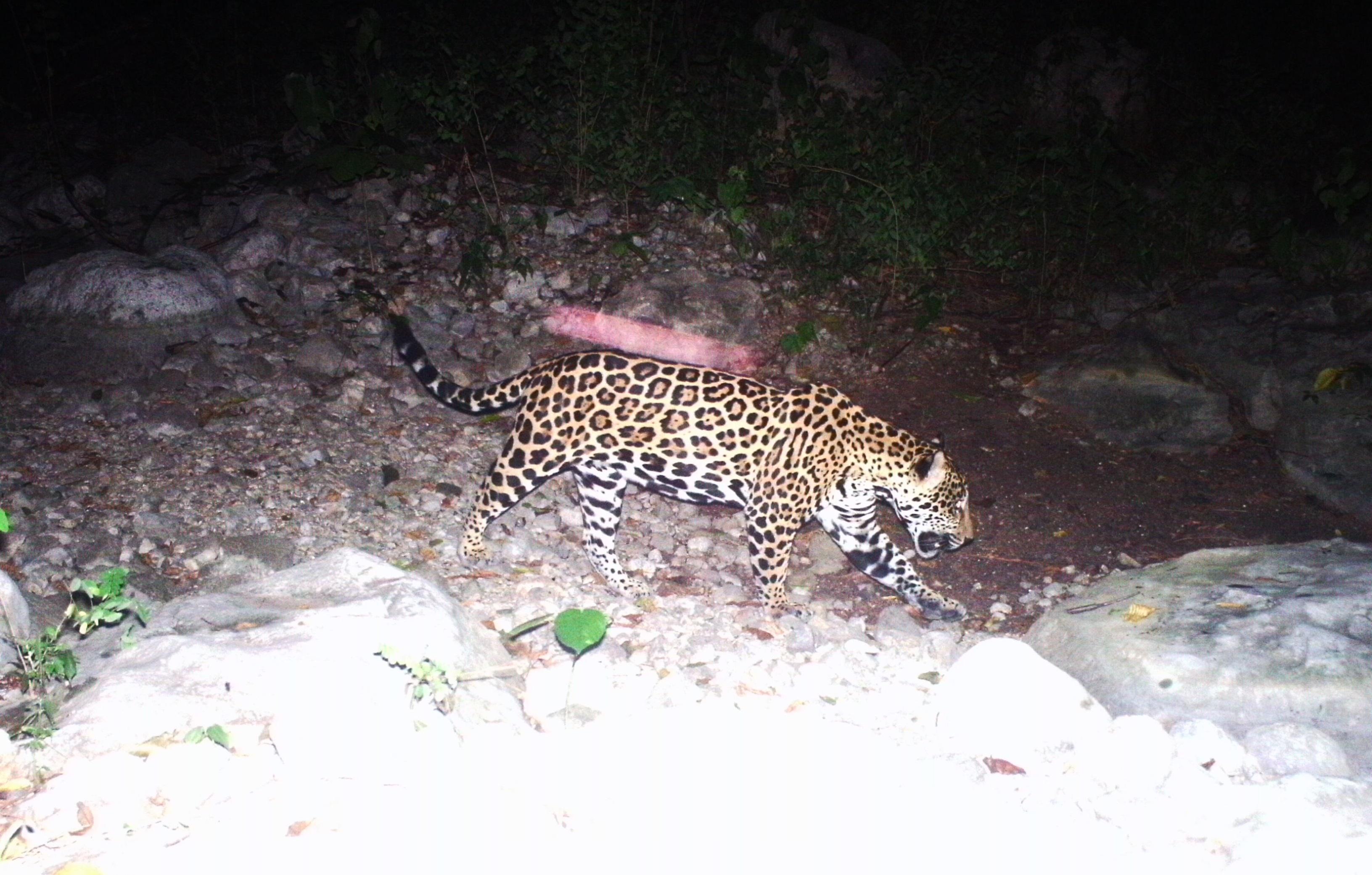 hoyennoticia.com, Con cámaras trampa cerrejón identifica más de 46 especies de fauna