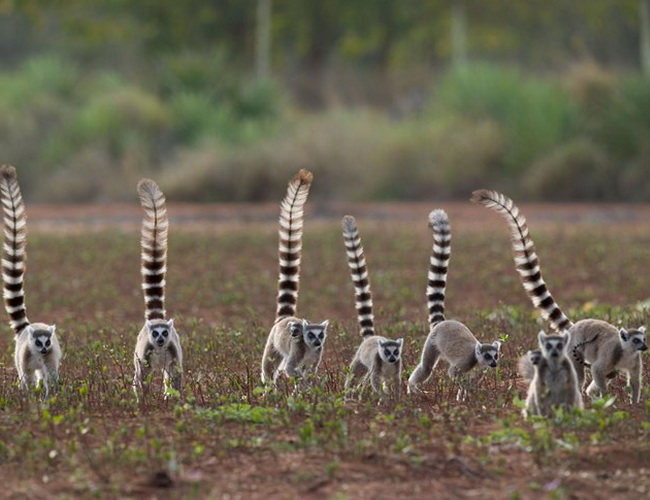Xvlor Isalo National Park is home to ring-tailed lemurs and elephant's foot plant