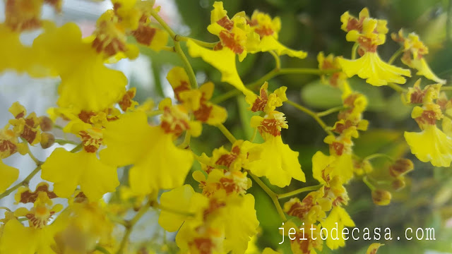 oncidium-orchids