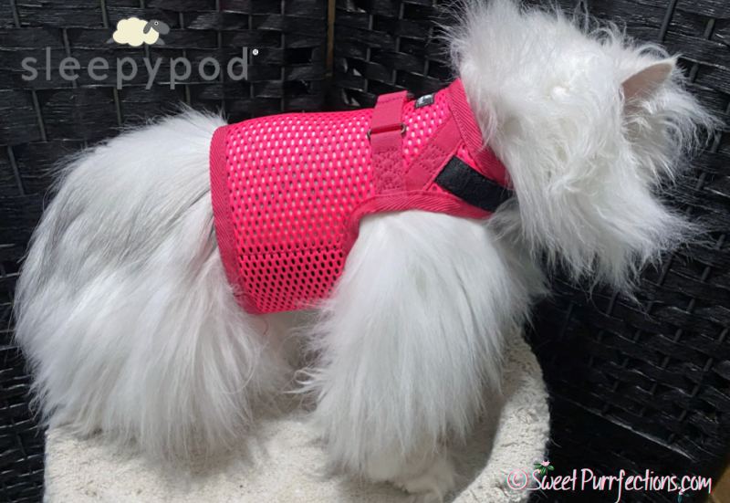 Silver Shaded Persian wearing pink Sleepypod Martingale Harness