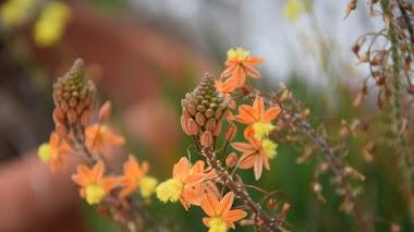 Bulbine frutescens, excelente cubierta vegetal florífera y tolerante a la sequía