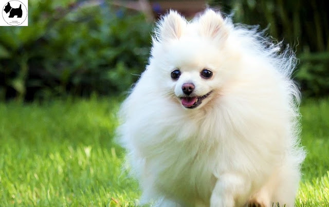 Cutest Dog Breeds, Best Dog, Pomeranian Dog puppies
