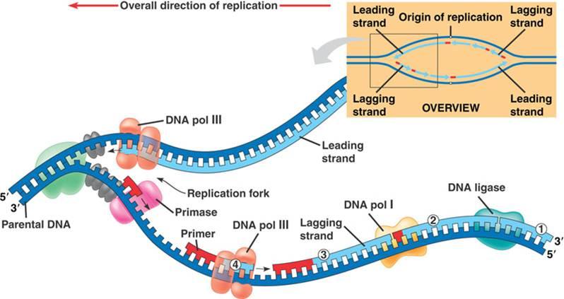 Dna Replication Diagram Label
