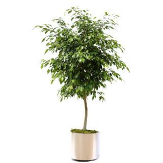 Fikus Benjamin otrovne biljke za ljubimce Panvet