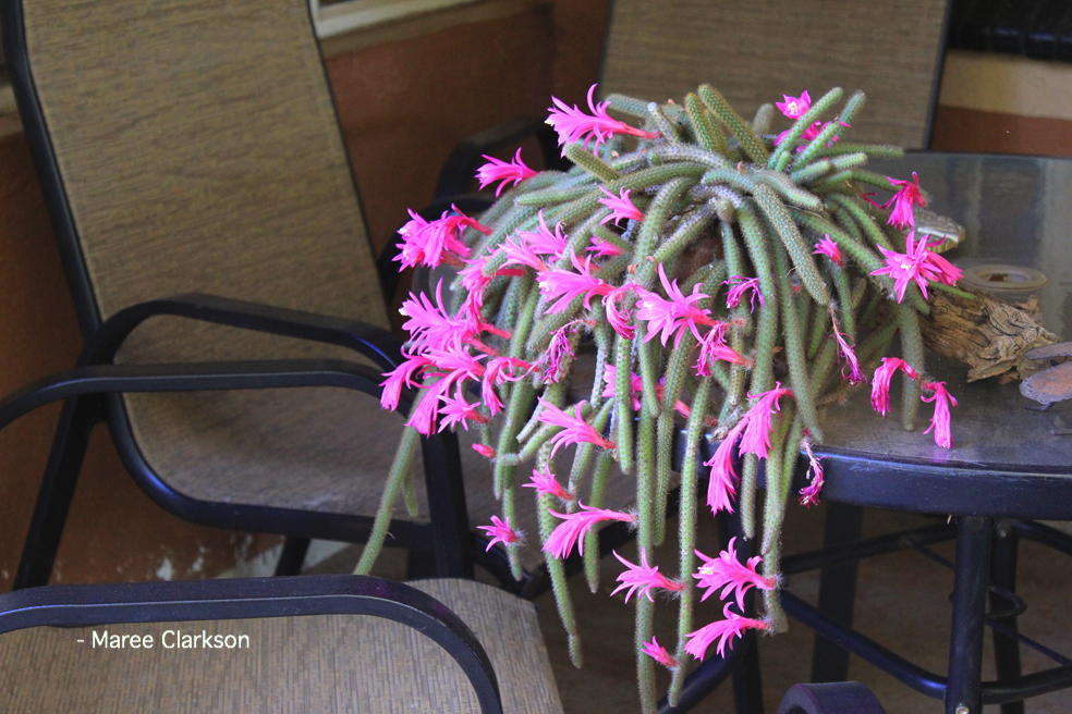 Senecio Rowleyanus Curio Rowleyanus String Of Pearls World
