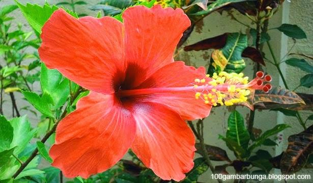 Flora   Fauna di Indonesia  BUNGA SEPATU 5a343d4d89
