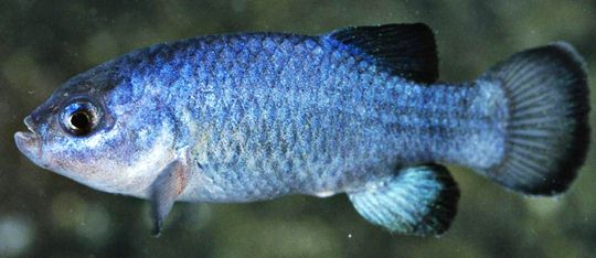 A fish in Nevada's desert puzzles researchers