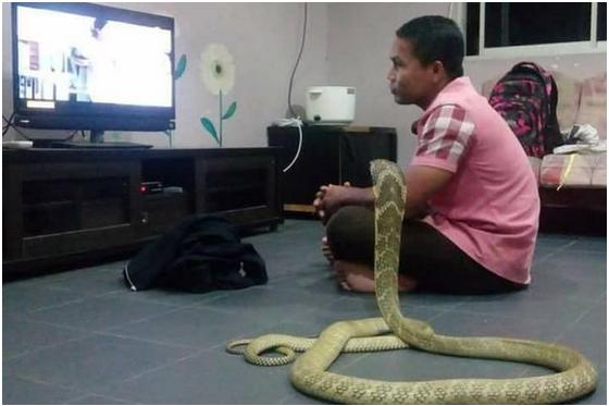 Pria Menikahi King Kobra Sepanjang 3 Meter, Ternyata Ini Yang Sering Dilakukan Jika Sedang Berdua