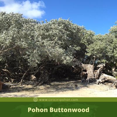 Ciri Ciri Pohon Buttonwood