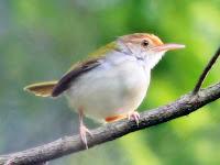3 Tips Jitu Ternak Burung Prenjak