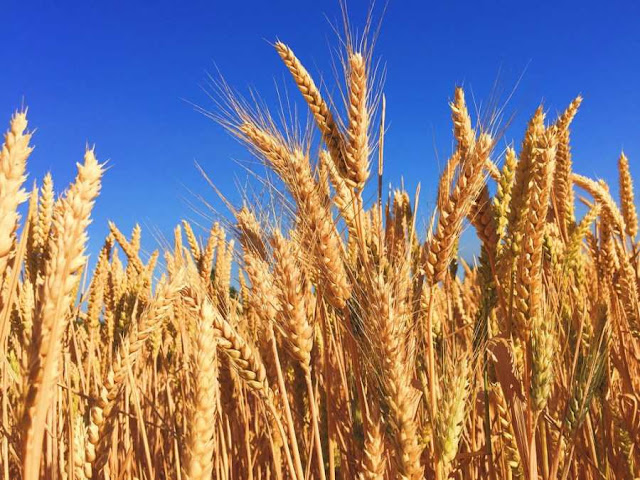 فوائد جنين القمح في الوقاية من مختلف الامراض