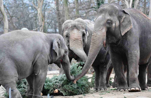 Elephants gorge on Christmas trees in German zoo