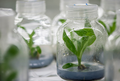 aplikasi kultur jaringan pada tanaman