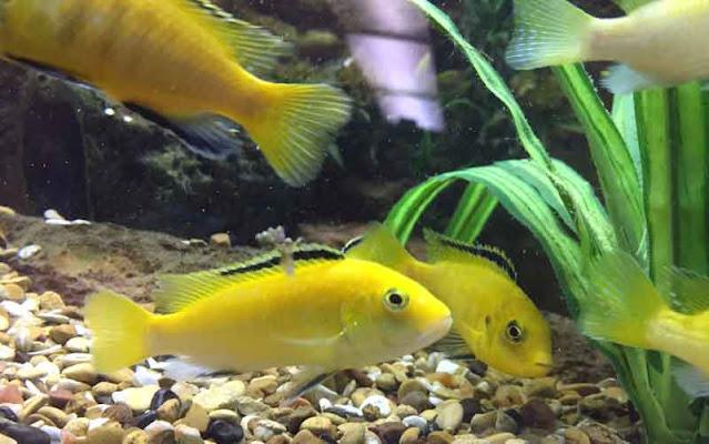 Cara memelihara ikan lemon di akuarium