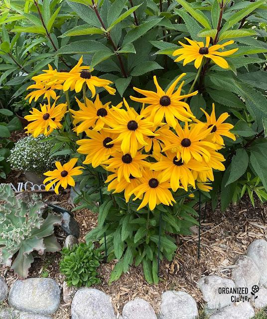 Photo of blooming Black Eyed Susans