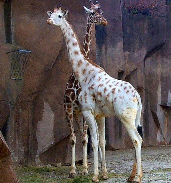 Giraffe | A-Z List of 125 Rare Albino Animals [Pics]