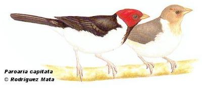 Cardenilla Paroaria capitata