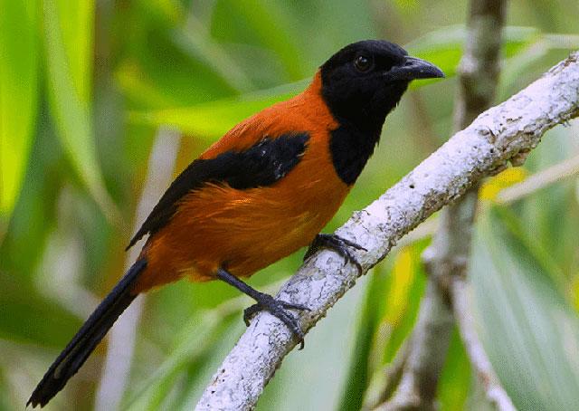 Pitohui bird