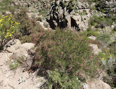Chilca (Acanthostyles buniifolius)